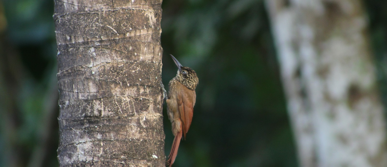 Barred Antshrike - WoodPecker
